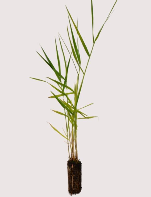 Cell Grown Phragmites australis - Common Reed