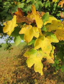 Field Maple leaves in early autumn.