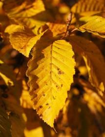 Carpinus betulus - Hornbeam leaves during autumn.