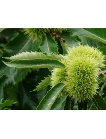 Castanea sativa - Sweet Chestnut leaves and nut.