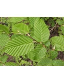 Carpinus betulus - Hornbeam leaves during spring/summer.