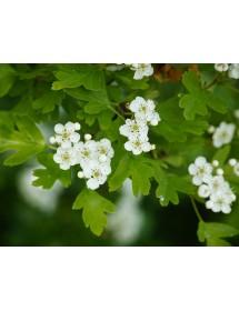 Crataegus monogyna - Hawthorn flowering in spring.