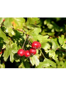 Crataegus monogyna - Hawthorn berries.