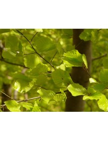 Fagus sylvatica - Green Beech leaves in early spring.