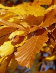 Fagus sylvatica - Green Beech leaves in autumn.