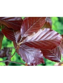 Fagus sylvatica atropurpurea - Copper Beech leaves.