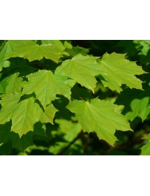 Acer platanoides - Norway Maple leaves spring/summer