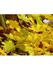 Acer platanoides - Norway Maple leaves in autumn