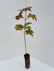 Cell Grown Acer platanoides - Norway Maple