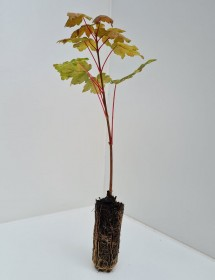 Cell Grown Acer pseudoplatanus - Sycamore