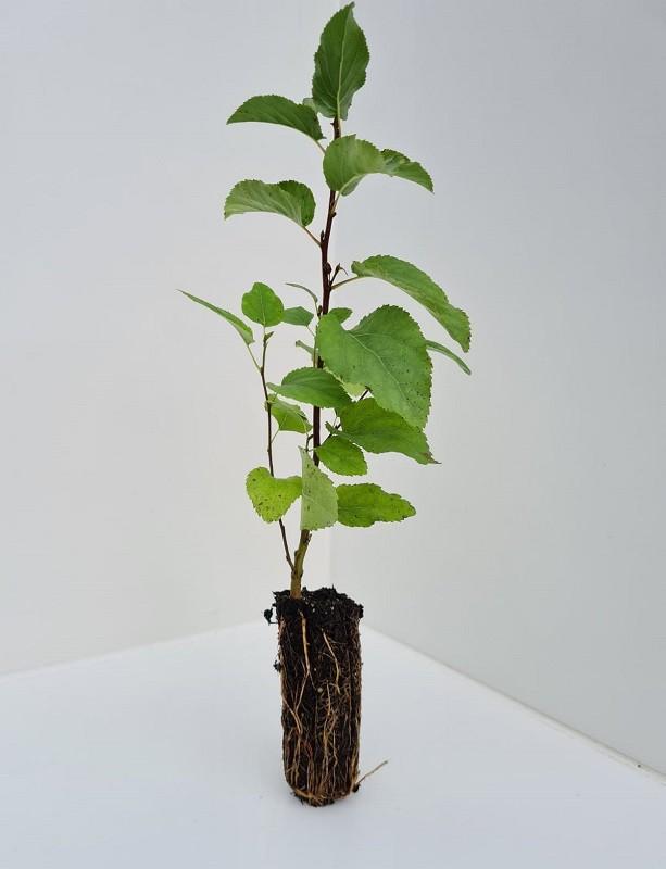 Cell Grown Alnus cordata - Italian Alder