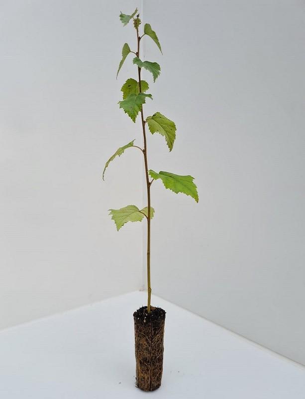 Cell Grown Betula pendula - Silver Birch