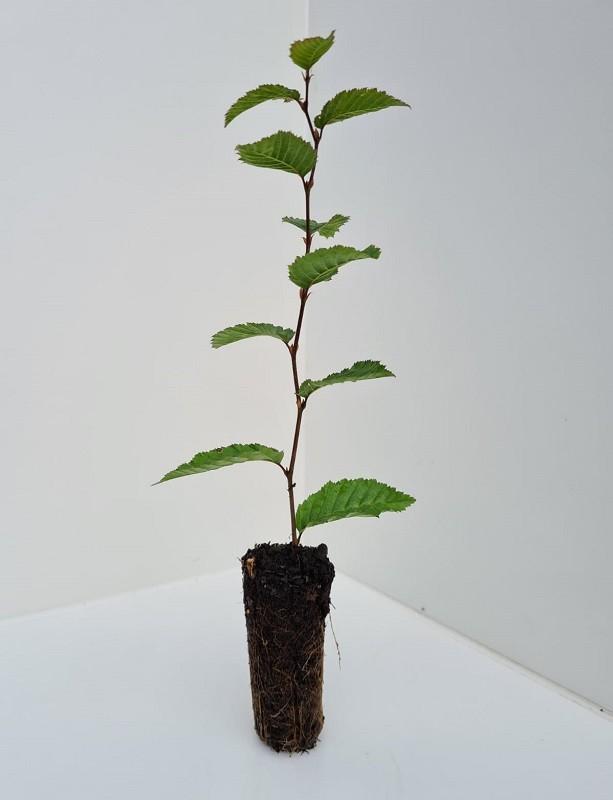 Cell Grown Carpinus betulus - Hornbeam