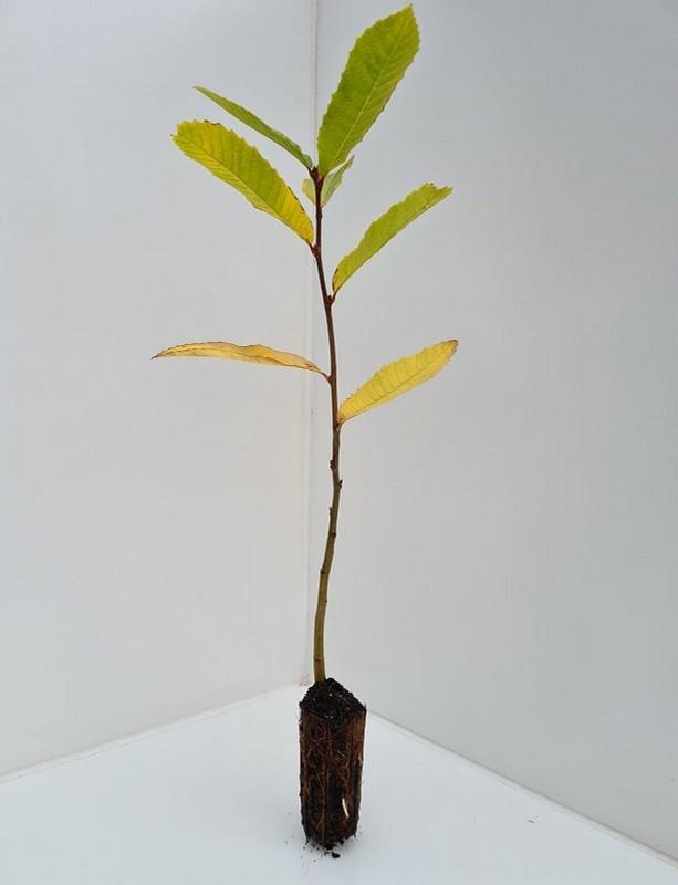 Cell Grown Castanea sativa - Sweet Chestnut