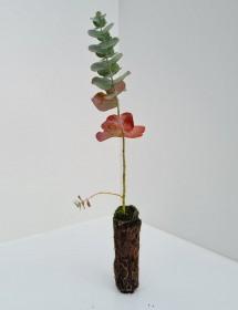 Cell Grown Eucalyptus glaucescens - Tingiringi gum