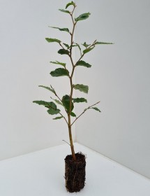 Cell Grown Fagus sylvatica - Green Beech