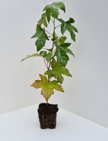 Cell Grown Liquidambar styraciflua - Sweetgum