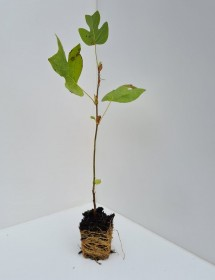 Cell Grown Liriodendron tulipifera - Tulip Tree