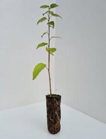Cell Grown Populus tremula - UK Aspen