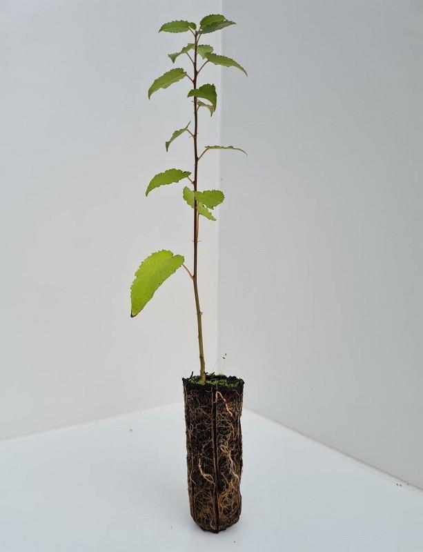 Cell Grown Populus tremula - Native Aspen (Scottish)
