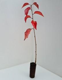 Cell Grown Prunus avium - Wild Cherry