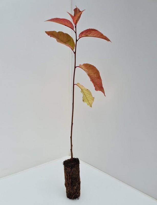 Cell Grown Prunus padus - Bird Cherry