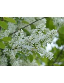 Prunus padus - Bird Cherry fruit
