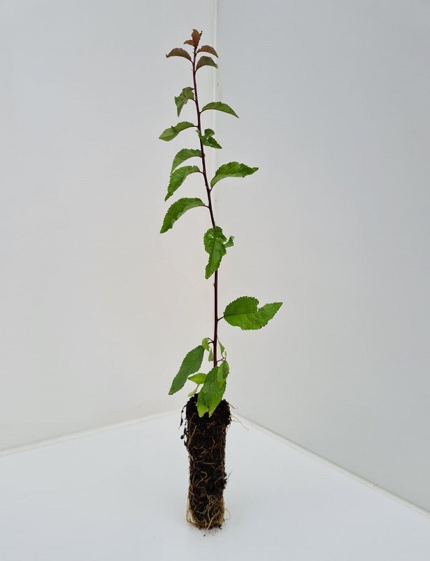 Cell Grown Prunus spinosa - Blackthorn