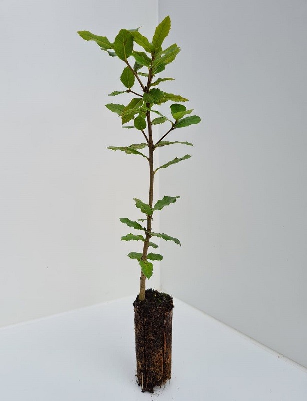 Cell Grown Quercus ilex - Holm Oak
