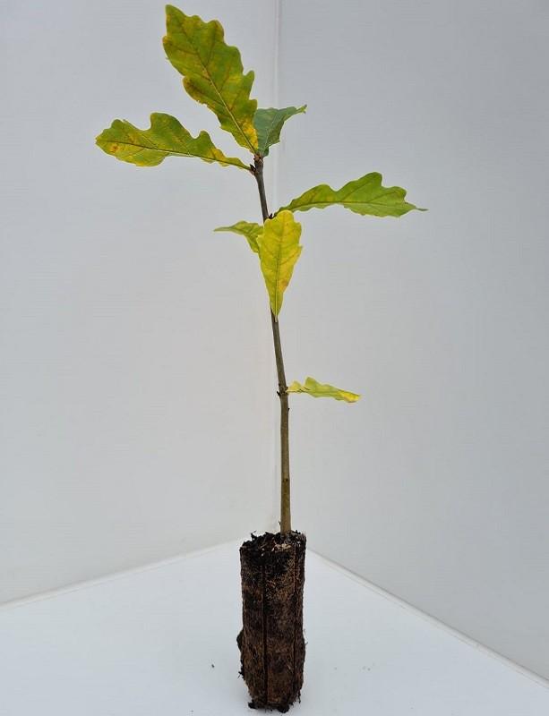 Cell Grown Quercus robur - Pedunculate Oak