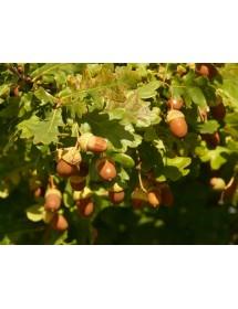 Quercus robur - Pedunculate Oak acorns