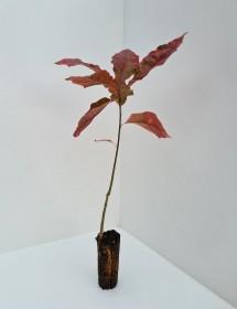 Cell Grown Quercus rubra - Red Oak