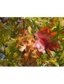 Quercus rubra - Red Oak autumn