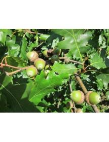 Quercus rubra - Red Oak acorns