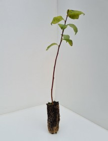 Cell Grown Salix caprea - Goat Willow