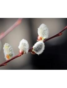 Salix caprea - Goat Willow catkins