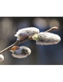 Salix cinerea - Grey Willow catkins