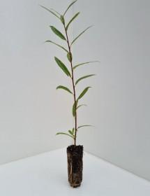 Cell Grown Salix viminalis - Common Osier