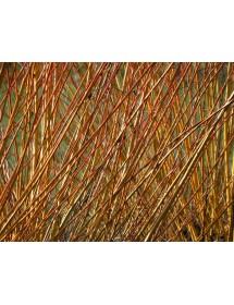 Salix viminalis - Common Osier stems