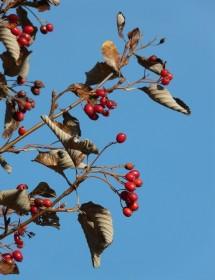 Sorbus aria - Whitebeam berries