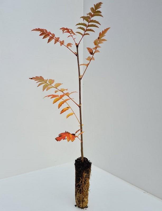 Cell Grown Sorbus aucuparia - Rowan
