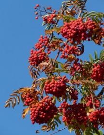Sorbus aucuparia - Rowan berries