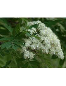 Sorbus aucuparia - Rowan flowers
