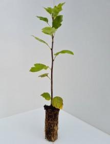 Cell Grown Sorbus torminalis - Wild Service Tree