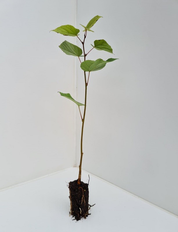 Cell Grown Tilia cordata - Small Leaved Lime
