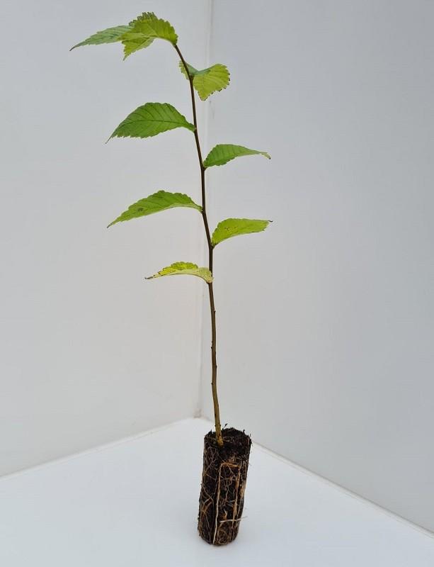Cell Grown Ulmus glabra - Scottish Elm