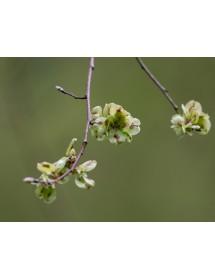 Ulmus glabra - Scottish Elm seeds