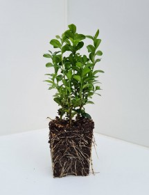 Cell Grown Buxus sempervirens - Box
