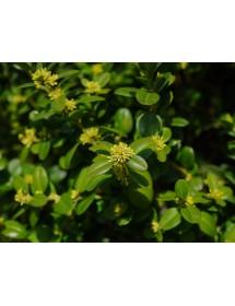 Buxus sempervirens - Box flowers