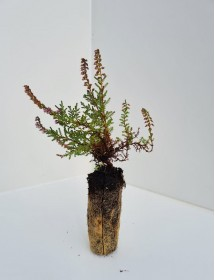 Calluna vulgaris - Native Wild Heather